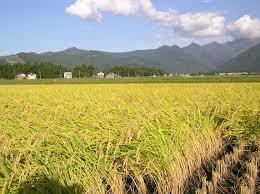 Barna rizs - tulajdonságok és előnyök