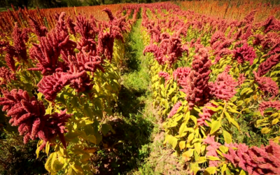 A quinoa mag előnyei és ártalmai a szervezet számára